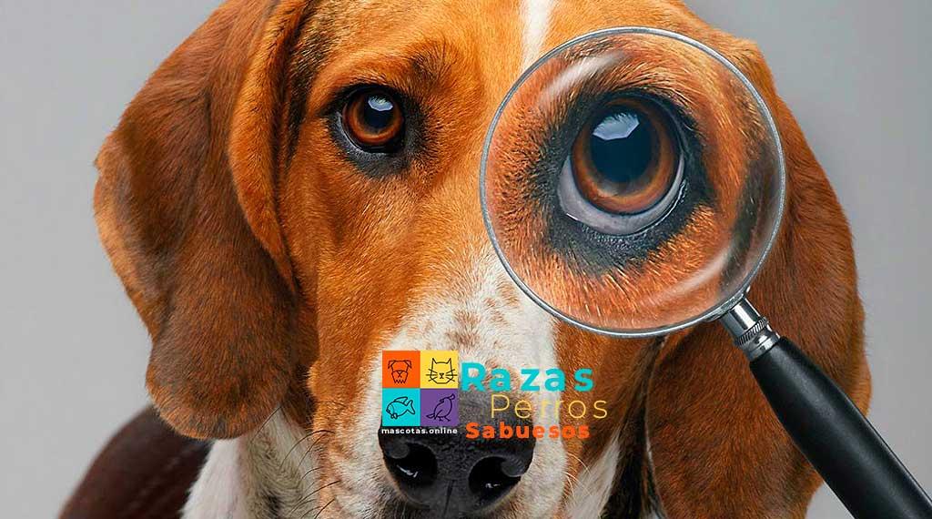 razas de perros sabuesos