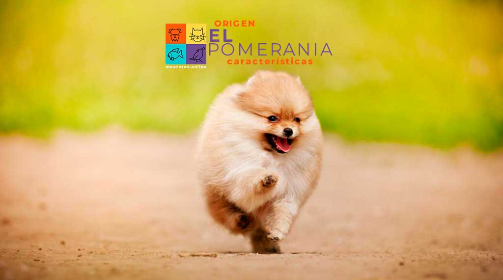 El Pomerania caracteristicas